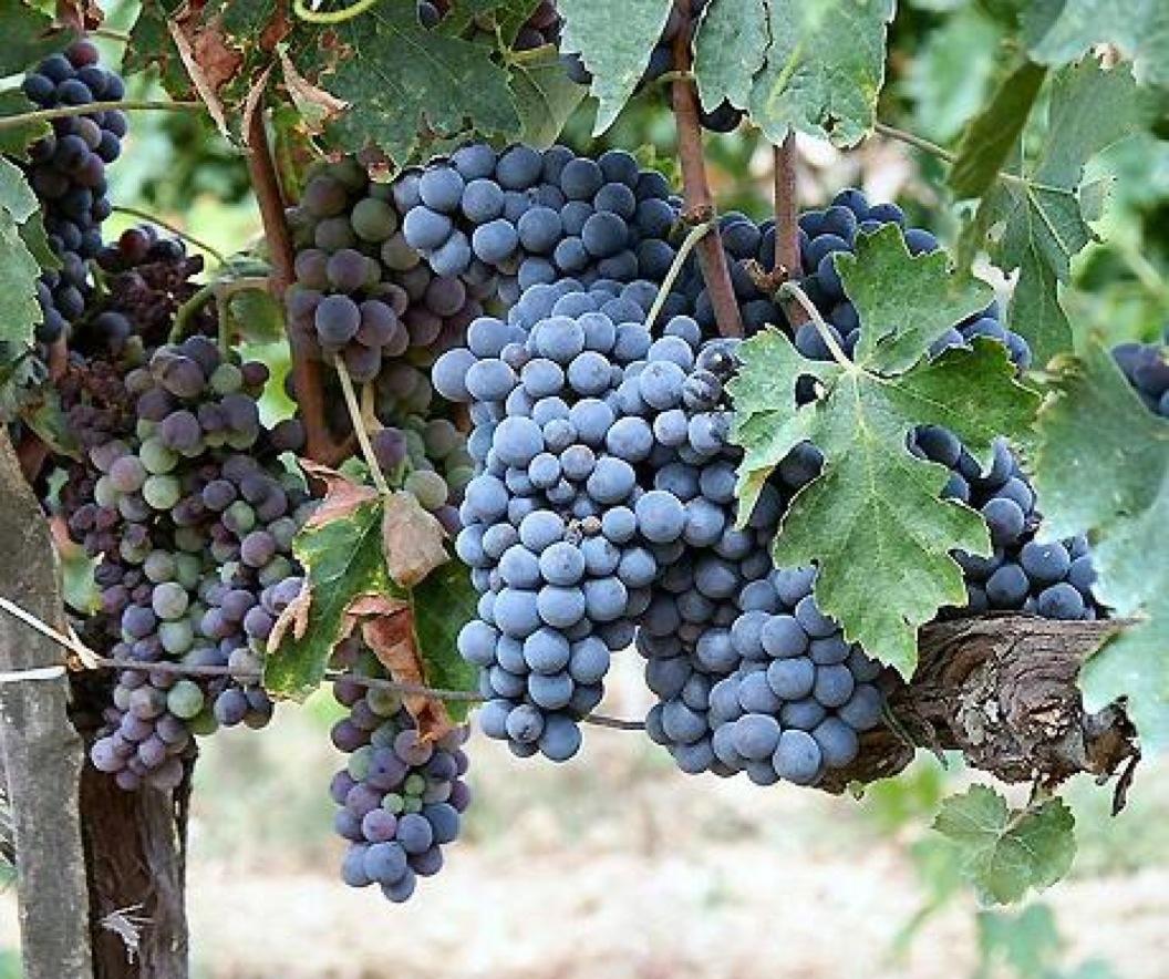 Grapes at Les Bardons